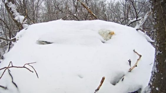 You can barely see the head of a bald eagle, with snow reaching past its neck, protecting eggs in the storm.