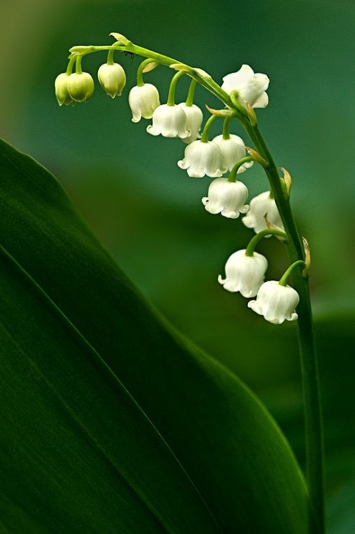 Lily Of The Valley Convallaria Majalis A Delicate And Fragrant Addition Lily Of The Valley Valley Flowers Month Flowers