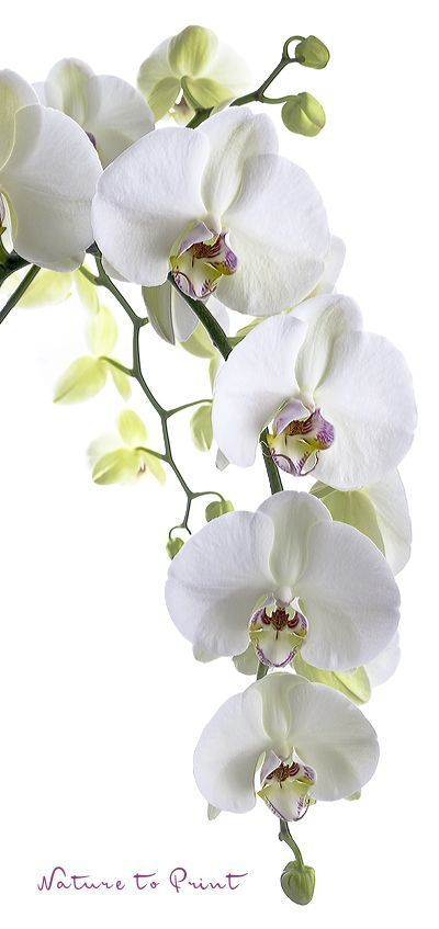Pin By Bailee Wilkinson On Lindas Orquideas Orchids Painting Orchid Photography Orchid Flower