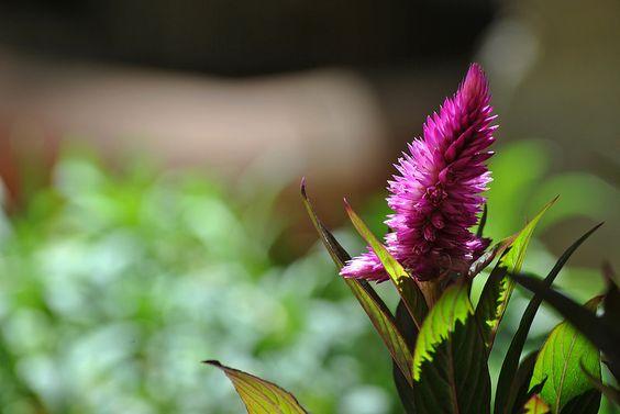 Magic.https://www.flickr.com/photos/llamamemar/14825558958/ #pink #flower #flor #fotografía #photography #magic #Flickr
