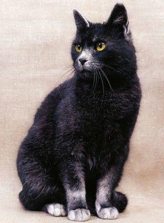 Korat      Kategorie: Kurzhaarkatzen     Herkunft: Thailand     Größe: Mittelgroß     Gewicht: Kater bis 5,5 Kilogramm, Katzen bis 4,5 ...