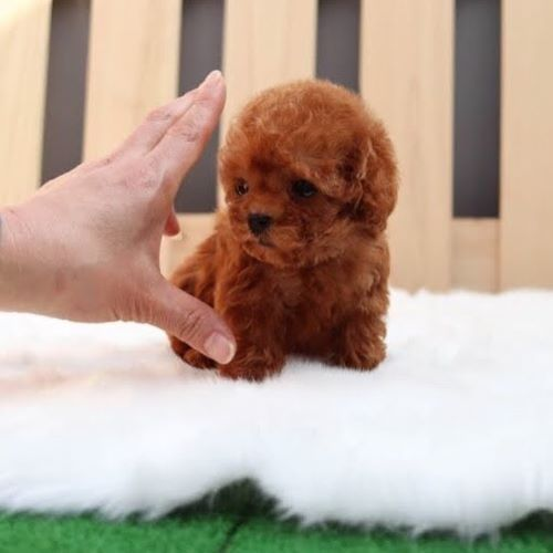 Pin By Lisa Detrick On Puppys In 2020 Toy Puppies Toy Poodle Puppies Mini Poodle Puppy