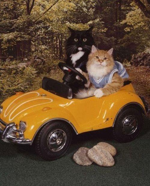 Cat-couple-drive-car.jpg (500×620)