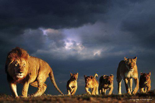 Beautiful lion family