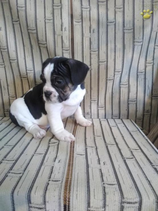 Manny English Bulldog Hybrid Puppy For Sale In Newport Pa