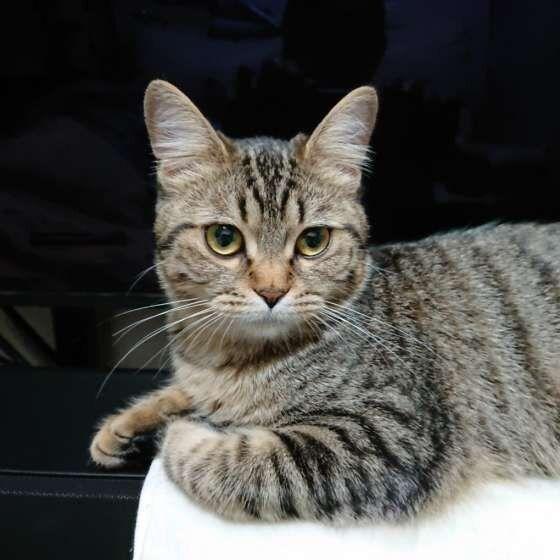 似ているけどいろいろ異なる キジトラ猫とサバトラ猫の違い ねこのきもちweb Magazine キジトラ猫 猫 性格 トラ猫