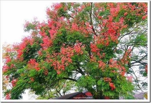 Taiwanese rain tree (Koelreuteria elegans ssp. formosa)