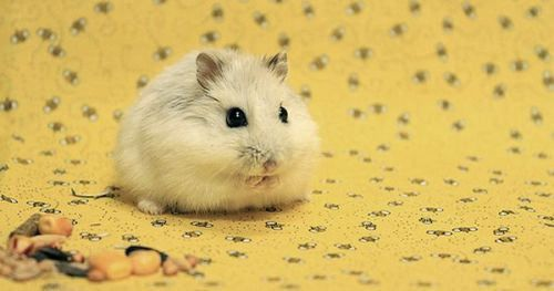 6 Types Of Most Popular Hamster Breeds Cute Hamsters Hamster