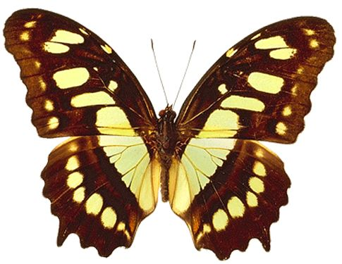 PNG Transparent Brown and Yellow Real Butterfly Clipart ...