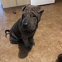 Orlando Florida Shar Pei Meet Gibson A For Adoption Https Www Adoptapet Com Pet 27158323 Orlando Florida Shar Pei Pets Adoption Pet Adoption