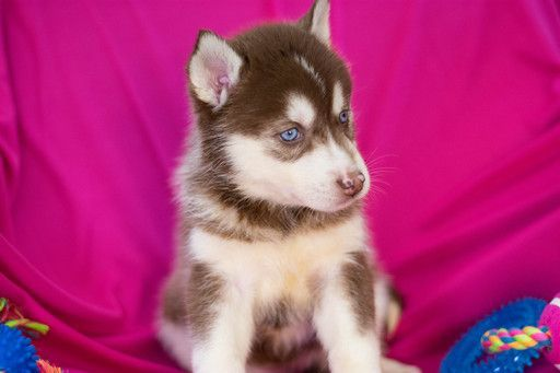 Siberian Husky Puppy For Sale In Kent Oh Adn 62364 On