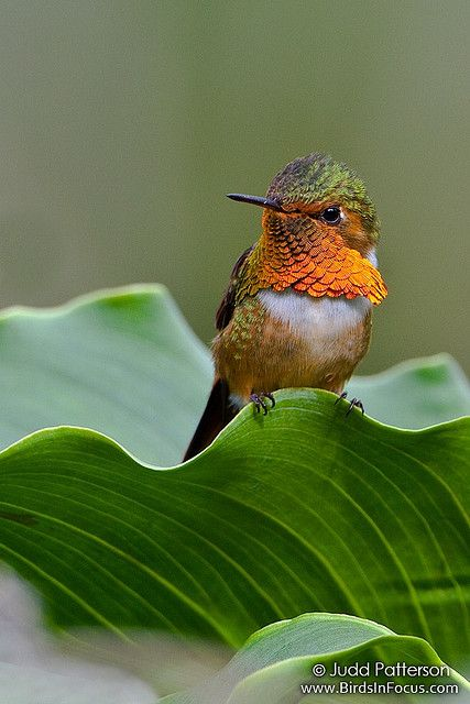 Scintillant Hummingbird by Judd Patterson, via Flickr. This is the first of many Costa Rican bird photographs that I'll upload! It was a fantastic trip, where I was able to see more than 100 lifebirds. The climate and people were both amazing!