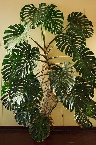 all homes need something green air plants monstera deliciosa 17 incredible houseplants you. Black Bedroom Furniture Sets. Home Design Ideas