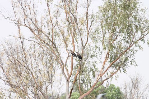 Eagles perched on a tree, Delhi, India