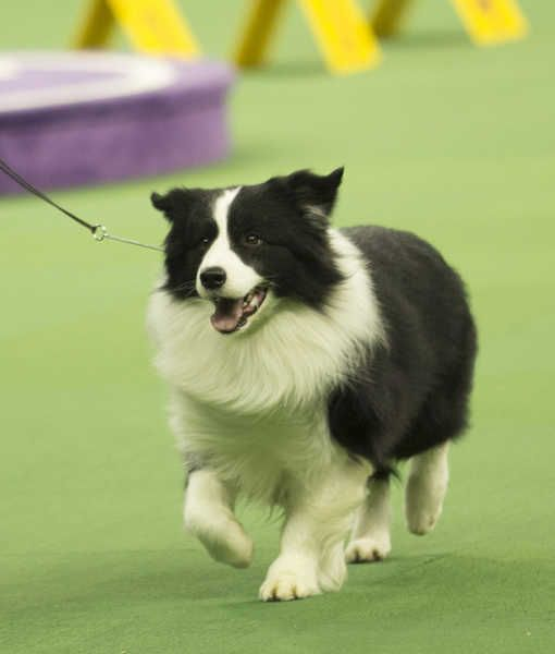 10 Cool Facts About Border Collies Collie Dog Collie Breeds Collie