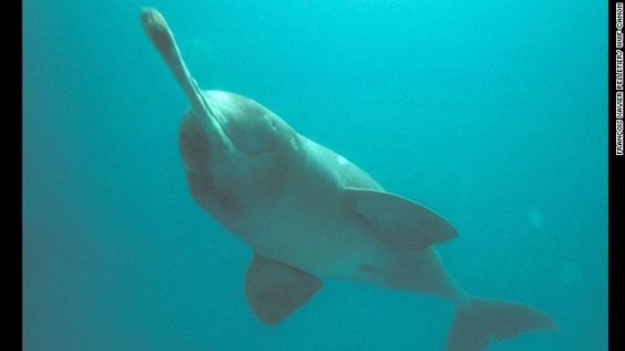 The Ganges River dolphin once lived in the Ganges, Brahmaputra, Meghna, Karnaphuli and Sangu rivers of Nepal, India and Bangladesh. But the ...