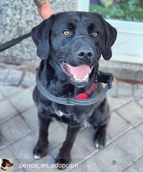 Reposted From Perros En Adopcion Coco Es Un Perrete Diez Impresionante Por Fuera Y Por Dentro Noble Bueno Cariñoso Está En Labrador Retriever Dogs Labrador