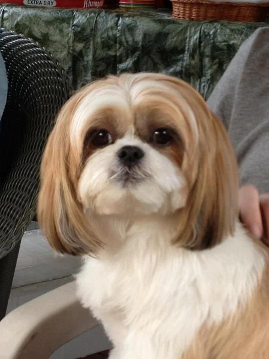 shih tzu pictures of haircuts shih tzu haircut find hairstyle 3473