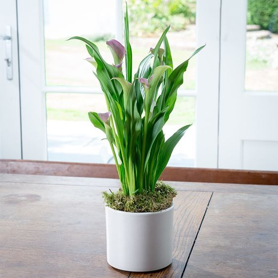 How To Care For An Indoor Calla Lily Plant Lily Plant Care Lily