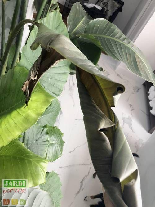 Oiseau De Paradis Culture Soins Maladies Tous Les Conseils Pour Les Plantes Vertes Oiseau Du Paradis Feuilles De Plantes Plante