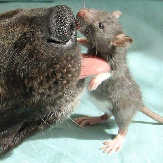 Un rat et un chien de thérapie ont la plus mignonne des amitiés.. Vous n'aurez jamais rien vu d'aussi adorable! - Trop Cute et mignon