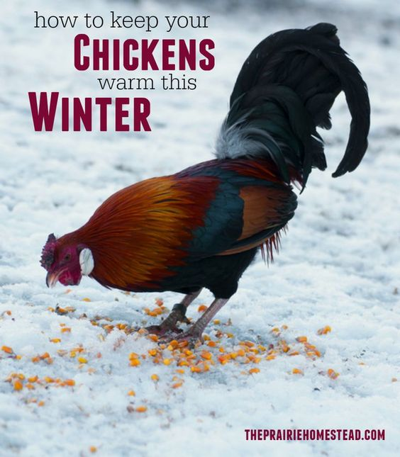 How to Keep Chickens Warm in the Winter | Warm, The winter ...