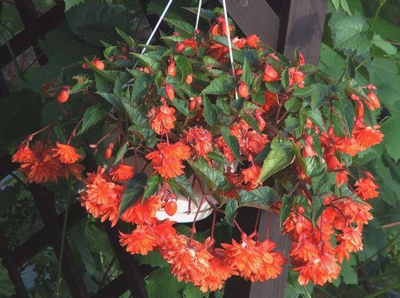 Begonia zwisająca: