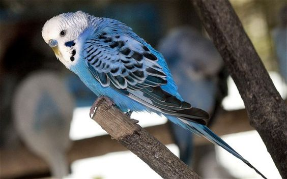 Lost Budgie taken home after it recites its entire address!