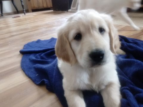 Litter Of 5 Golden Retriever Puppies For Sale In Williamstown Ky
