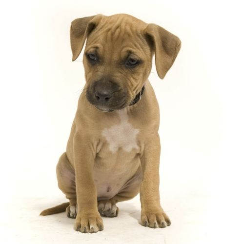 We rescued an abused dog, thought to be pitt bull/boxer.. Look at how darn cute the puppy is?? Oh my Cali..