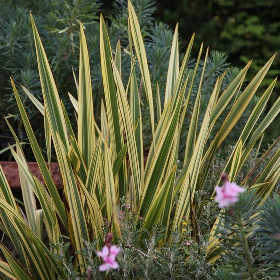 Buy New Zealand flax Phormium Apricot Queen: £18.39 Delivery by Crocus