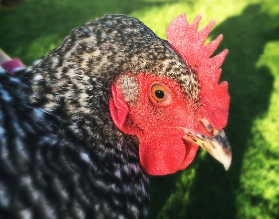 Repost: Backyard Chicken Reality Check