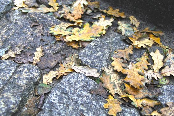 Брусчатка и листья дуба на улицах Пионерского. Фото: Evgenia Shveda