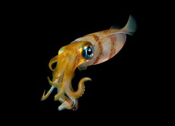 Blackwater, luminosos habitantes de un mar oscuro, por Joshua Lambas  -  Beautiful Close-Up Underwater Photos of Luminous Sea Creatures