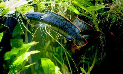 Snakehead channa nytt akvarie pinterest blog und for Seltene zierfische