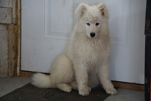 Samoyed Puppy For Sale In Fredericksburg Oh Adn 69405 On Puppyfinder Com Gender Female Age 16 Week Samoyed Puppies For Sale Samoyed Puppy Puppies For Sale