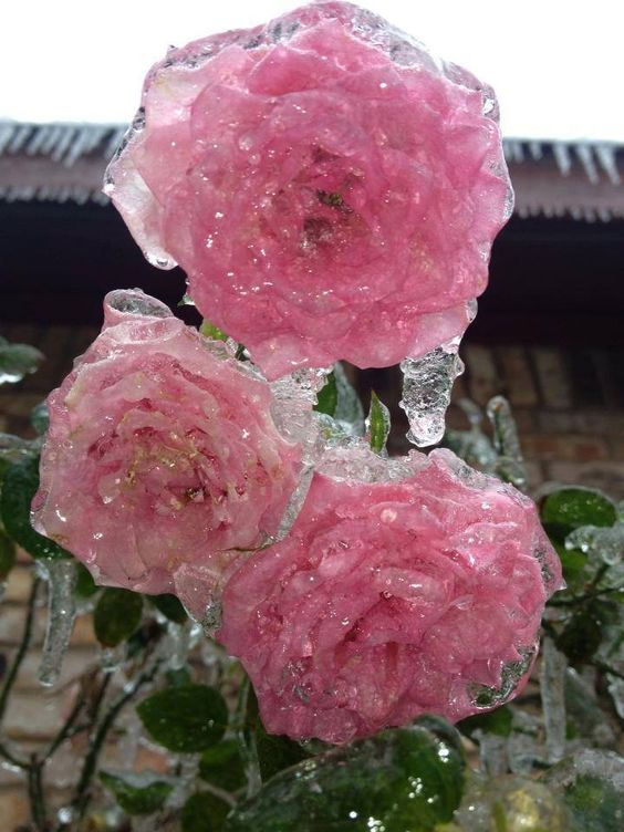 Pink roses frozen at her mothers in Carrollton TX near Old