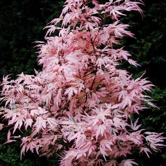 rable du japon vari t s feuillage panach acer palmatum 39 taylor 39 jardin pinterest. Black Bedroom Furniture Sets. Home Design Ideas