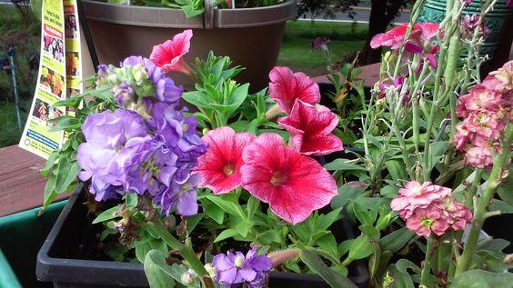 {{Pretty Petunias Planter  Display