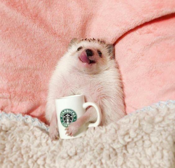 I WILL have a hedgehog #animalesbebébonitos I WILL have a hedgehog