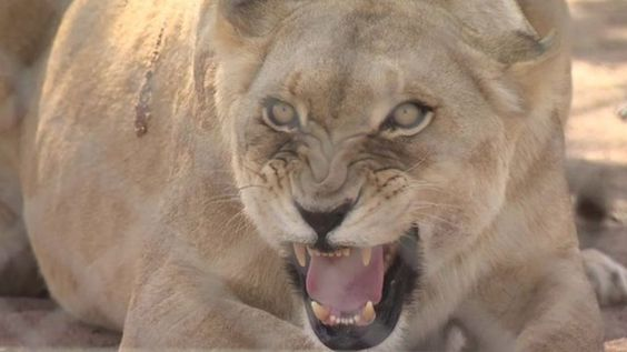 Calls to ban 'canned lion hunting' in South Africa - BBC News
