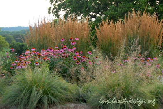 Prairie dropseed, purple coneflower and reed grass - staples for any garden.
