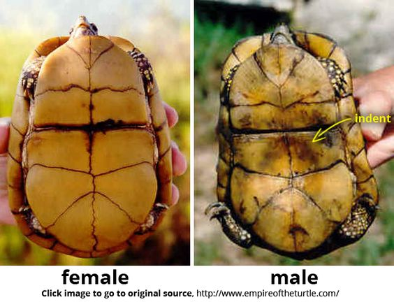 how to tell how old a box turtle is