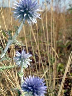 Fleur boule azuree