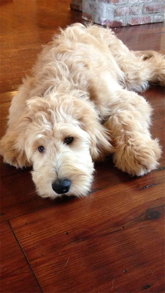 Cute Labradoodles dog: