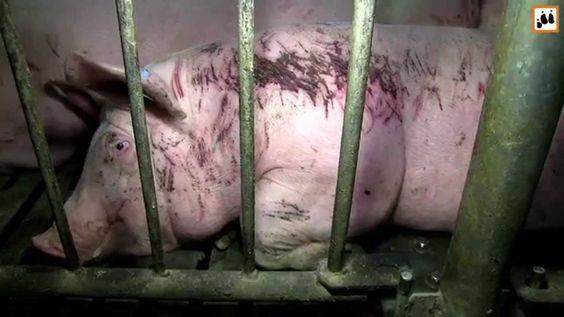 Die Wahrheit über Massentierhaltung (Schweinezucht)