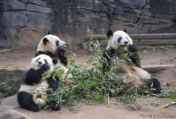 """Lun Lun and her """"big girls."""" #ZAFanFriday submission from Facebook user Lynne L."""