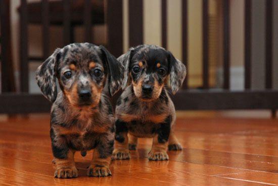 Dapple Puppies Aww Mama Shana Wants One Dachshund Puppies