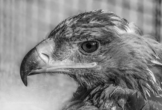 Falcon by abbaschamsaddin via http://ift.tt/2drcjV4