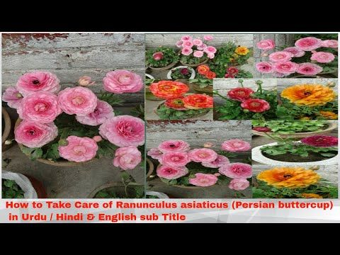 Ranunculus Asiaticus Persian Buttercup Youtube Persian Buttercup Ranunculus Asiaticus Herbaceous Perennials